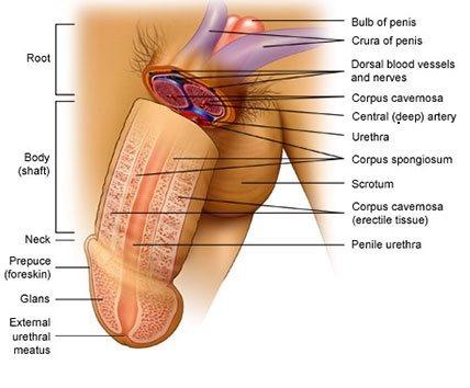 Hình ảnh bộ phận sinh dục nam bình thường